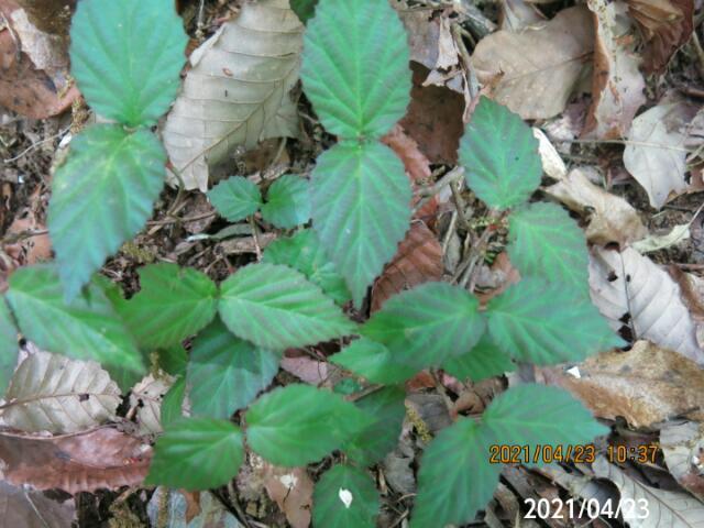 昨年発芽したような幼木の名前を教えてください、 岐阜県米田白山で、 撮影20210423
