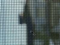 この虫は蚊ですか? 写真見づらくてすみません。 網戸にだけ10匹くらいとまってたのですが、去年引っ越してきた際には見られなかったので今年は虫に住みつかれてしまうのかと今から戦々恐々です。  網戸用の虫...