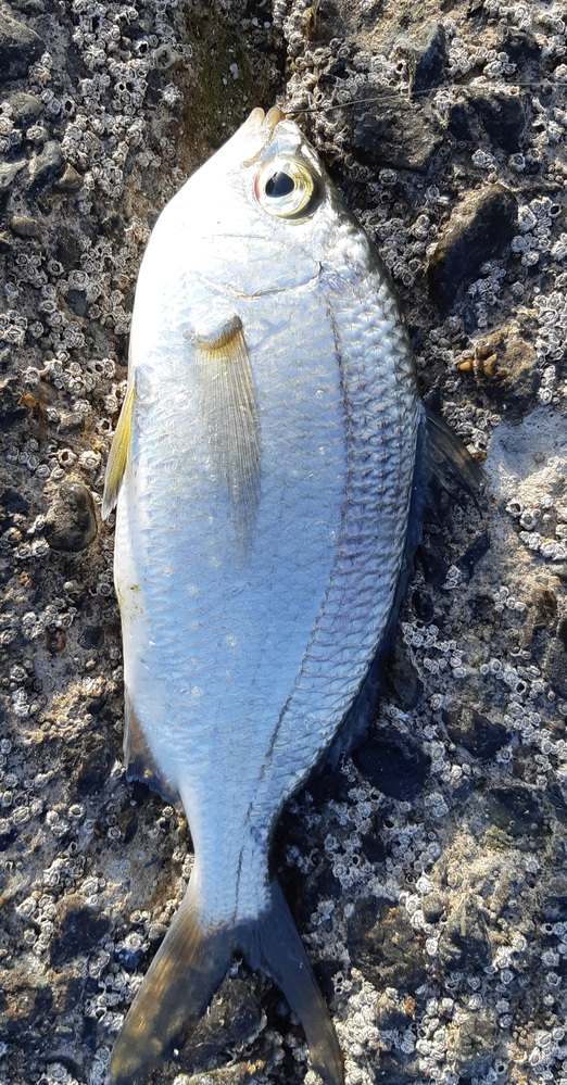 この魚の名前を教えてください。 25センチくらいです。成魚でしょうか? 美味しくいただくには? お願いいたしますm(_ _)m