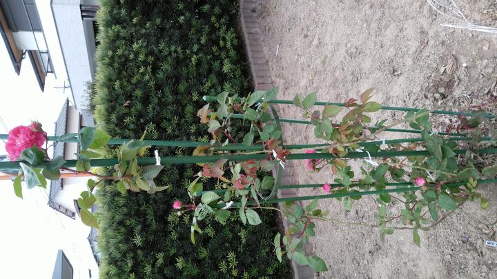 つる薔薇でしょうか?巻き付けて育てるのか?剪定するのかよくわかりまん。