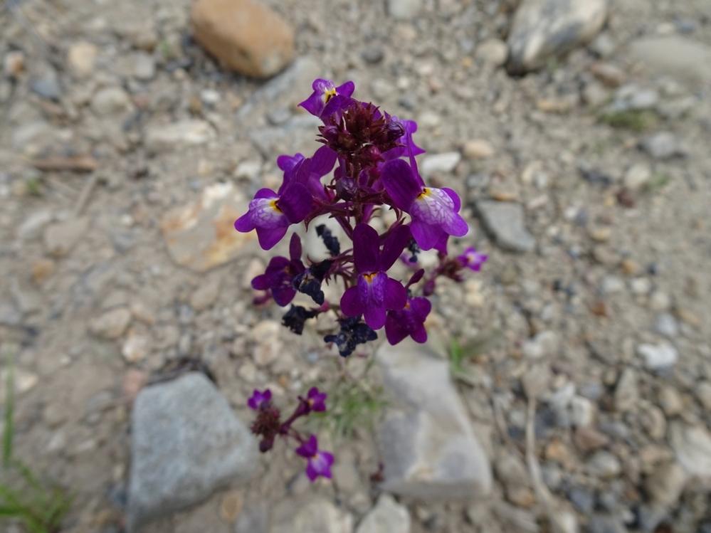 2021.4.23 河原に咲いていた花です。どこかの花壇からやってきたものだと思います。名前をお教えください。