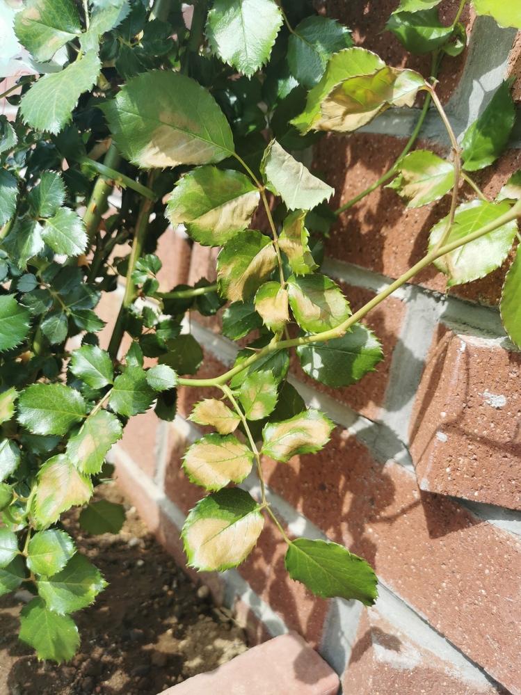 バラを育てていますか。初心者です。 地植えのバラに最近つぼみが開きそうなのですが、葉が部分的に茶色になったり、萎れたり。原因がわからなくこまっています。 おわかりの方がいたらおしえてください!
