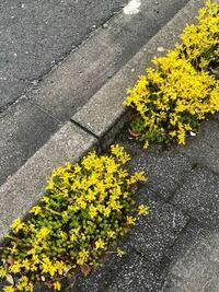 この花の名前を教えてください。道端にぎっしり生えています。よろしくお願いします