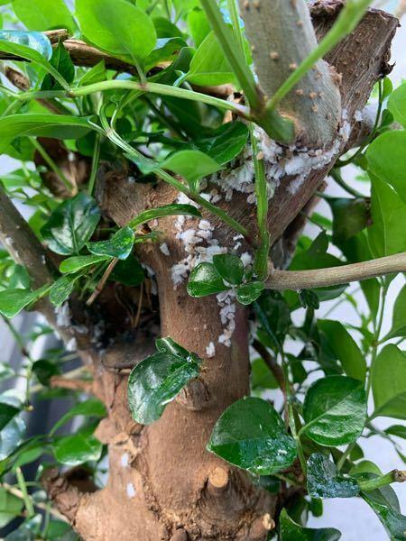 害虫についてです。 数年前にいつの間にかうちの敷地に生えた木ですが、カビかと思っていたら、虫のようです。 どんな虫か分かりますか? また、どう駆除したらいいでしょうか? 虫の付いているところを丸ごとノコギリで切って捨てようかと思っていますが、殺虫剤などを噴霧した方がいいでしょうか?