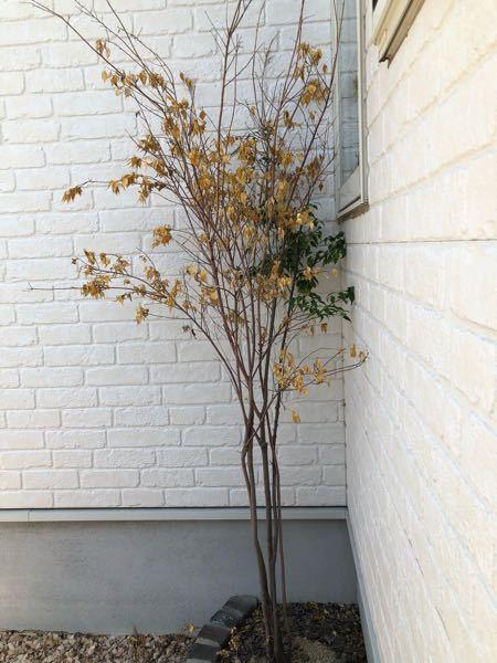 庭木について。 ハイノキを、4年前に北側に植えてます。しかし、半年くらい前から元気がなく、8割くらいが黄色の葉っぱになり落葉してしまいました。枝も、カリカリに乾燥して手で曲げるとしなやかさは無くすぐに折れます。なぜでしょうか。復活できるでしょうか。