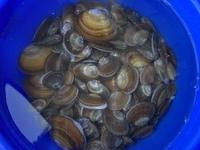 潮干狩りをしたんですが貝の種類が 分からないので教えてください(´・ ・`)