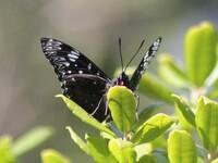 こちらの黒いチョウの種類はなんですか?大きさはタテハチョウ程度。場所は三重県の岬の展望台です。
