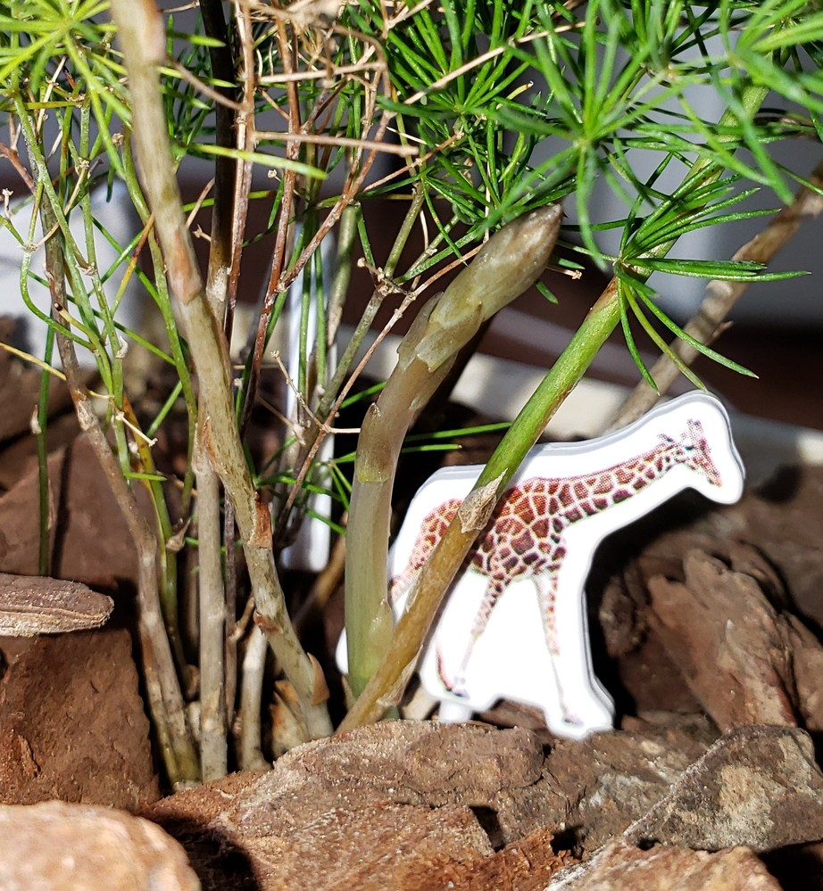 初めて観葉植物のアスパラを育ててみたのですが、実が出てきました。 これは切り取るのか抜くのか… 教えて下さい❗
