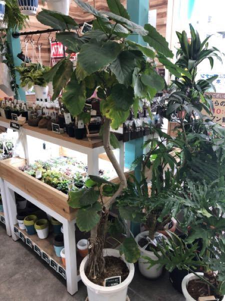 観葉植物初心者なんですがウランベータを購入検討中なんですがこの葉焼けの感じは気にする事ないレベルですか?