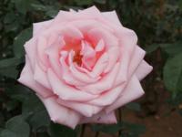 タイトルに「花・植物」の名前が付く曲を1~2曲教えて下さい! ♪赤いスイートピー 松田聖子さん ♪秋桜 山口百恵さん