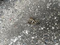 何ハチでしょうか??  朝、靴を履いたら違和感がありハチが出てきました。 昨日も履いていた靴なので、玄関にハチがいたという事だと思います。 もし、集団で移動するハチならまだ他のハチが家にいる可能性も...