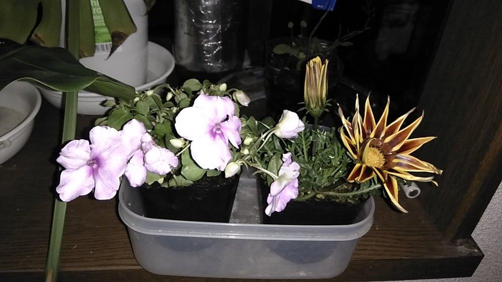 イベントで貰った花苗が2株有りますけど、何という植物か分かりますか?