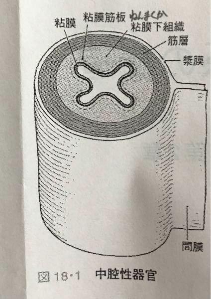 消化管の基本構造について 漿膜と間膜の違いがわかりません。 わかりやすく教えてください。
