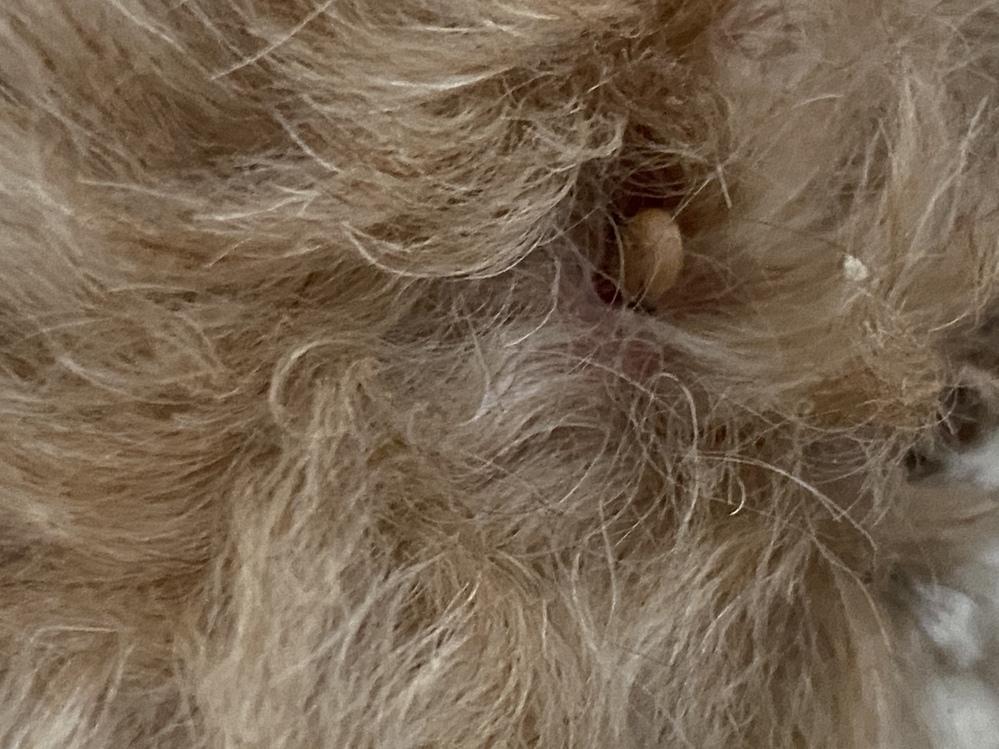 今日突然犬の顔をなぜていたら細く長いものに触りイボかなぁと思ったのですが右にも左にも倒れる感じなのですが…根本は赤くただれているので すが、これはダニでしょうか?(T . T) 細く平べったいイボなんてあるのかなぁと思っていたのですが…白っぽい平ぺったいです。 ダニでも白いですか?