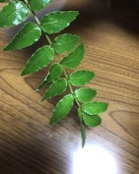 山椒の葉について。 今日この葉っぱを母が庭から持ってきて山椒の葉だというのですが、とても不安なので質問させて頂きました。こちらは何という植物でしょうか…?   匂いはかなり強めです。