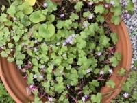 鉢植えにこの花が咲きました。 この種を蒔いた記憶はないんですが… 雑草でしょうか 名前わかる方いましたら教えてください。