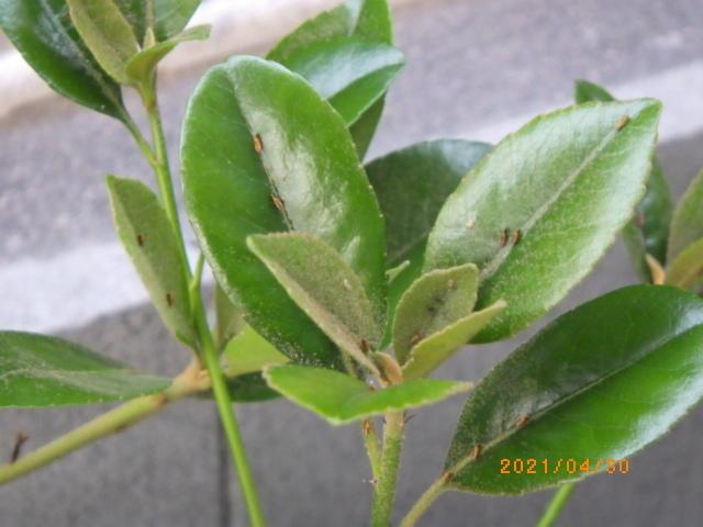 どなたか虫に詳しい方、教えていただけますでしょうか。 集合住宅の植栽(日陰部分)に大量の小さな虫が付いていました。 ご年配の方が「チャドクガでは」と仰っていて心配しています。 本当にチャドクガであれば駆除業者に一度見てもらおうと思います。 写真の虫が何の虫かお分かりになる方いらっしゃいますでしょうか。 是非ご教授くださいませ。