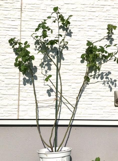 メアリーローズの剪定についてアドバイスお願いいたします。 長めの大苗を買いましたら、こんなのでした。背丈は1mくらいです。 (鉢の傾きと麻紐は無視してください) 伸ばすのでなく短めに、枝は多...