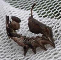 これは何シャチホコガの幼虫ですか?