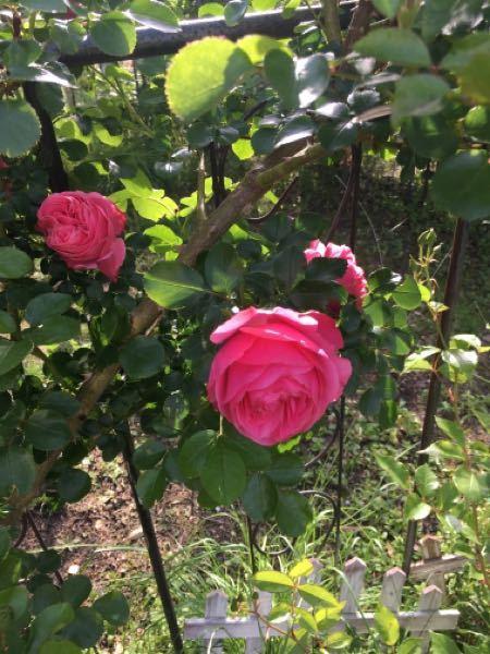 バラ初心者で、2年前に植え付けましたが ラベルが無くなり ツルバラの名前がわかりません。花は、5cmぐらいです。教え下さい。