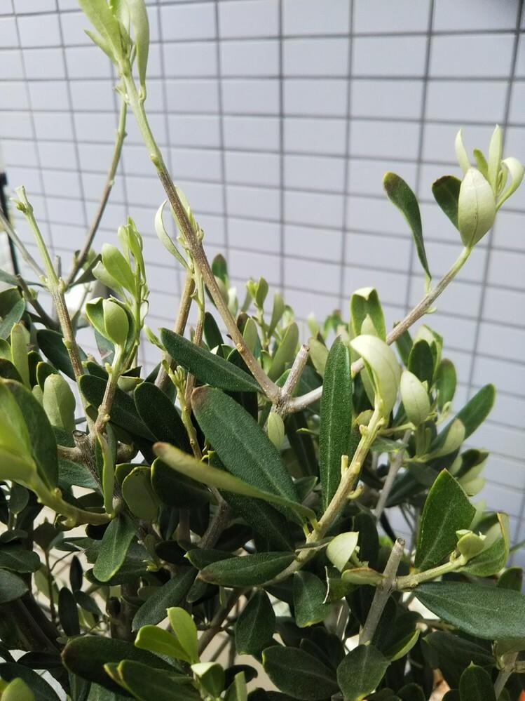 オリーブの鉢植え 長文失礼します。 3月初旬にオリーブの鉢植えを購入しました。 その際に6号鉢から8.5号の鉢にお店の方で植え替えて貰いました。 10日前ぐらいから所々葉先が茶色くなってきたので葉っぱの部分をカットしました。それから毎日見ているのですが日に日に茶色の部分が増えていきます。 最近は刃先の部分のみカットしています。毎日増えてます。 新芽も沢山出ていますが、刃先がくるりとなって先が...