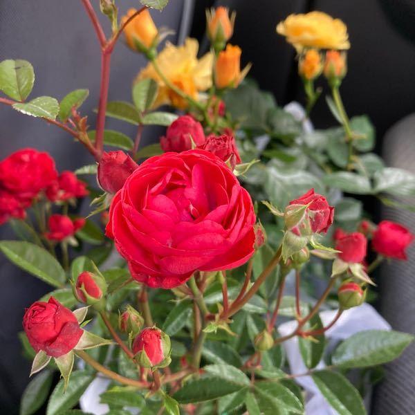 この赤いバラの品種がわかる方いらっしゃいますか? 四季なりのミニバラとして売られていました。 このバラは丸っこいですが、同じ種類でも美女と野獣のアニメに出てくるくらいカクカクっとした花がついてい...