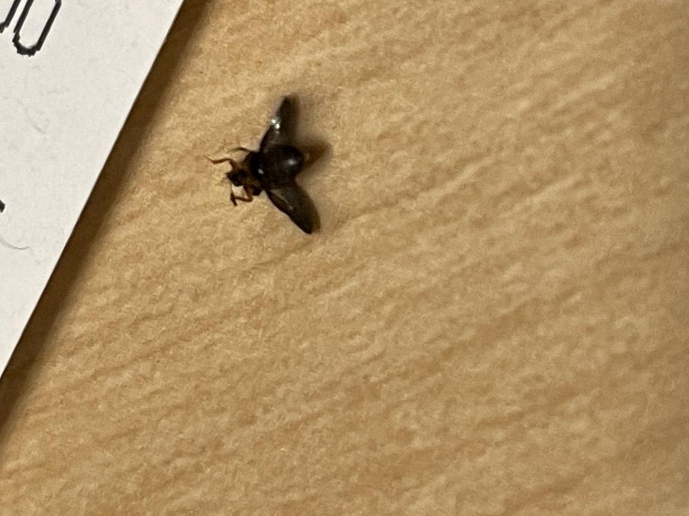 真っ黒で胡麻粒より一回り大きいサイズです。リビングに突然現れました… すぐにひっくり返る虫でなかなか起き上がれなくなります。 何という虫でしょうか?