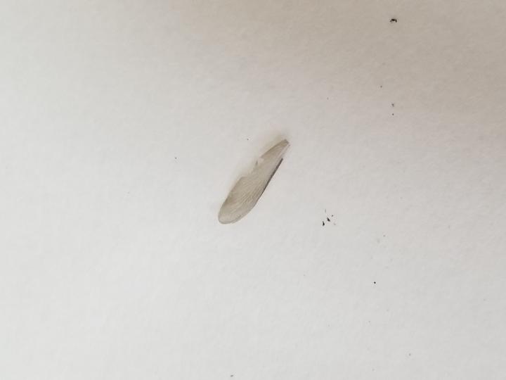 最近家の中に写真の羽?? みたいな物が数枚落ちてます。 虫の羽みたいな物ですが、なんでしょうか??
