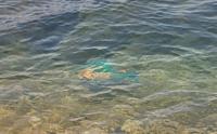 写真の魚が何なのか教えてください。 ベラの一種だと思うのですが 50cm くらいの大きさでした。 よろしくお願いします! 写りが悪くてすみません ⤵️⤵️