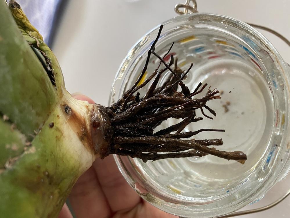 今チタノタのベアルートを水耕にて発根させています。 今黒い古い根の間に丸く根ぽいのがあるのですがこれは発根してますか??