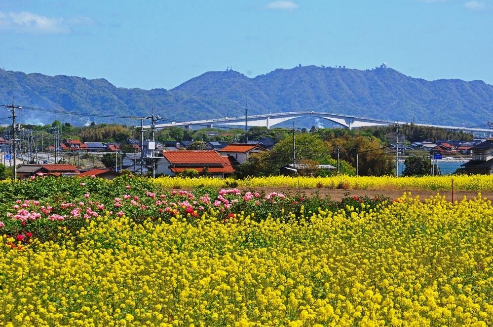 春を楽しんでいますか? 当地は遅い菜の花が牡丹に替わって島の名物になりそうです。