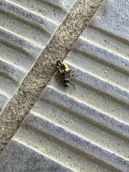 この虫はなんという虫か分かる方はいらっしゃいますか?柱に黄色い卵の集合体のような塊と、この虫がたくさんいて、気になります。払っても払ってもどこからともなく現れます。これは何かの虫の幼虫なのでしょうか? 詳しい方いらっしゃいましたら教えて下さい!!