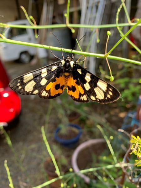 なんて名前の蝶か蛾なんでしょうか? わかる方居たら教えてください。