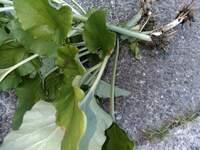 田圃の近くに生えてたのですがなんという植物ですか?食べれますか 教えてください。