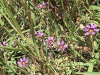 花の名前を教えて下さい。5月3日撮影です。 薄紫の小さな花で高さはせいぜい10cmです。 ご存知の方教えて下さい。
