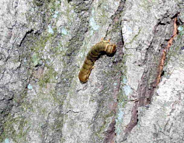 これは、何の幼虫か分かる方いらっしゃいますか?