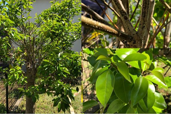 引っ越し先のお庭に生えてる植物の名前を教えていただきたいです2 こちらはツヤのある普通の大きさの葉っぱ、枝には斑点のような模様、幹の太さは現在は太ももくらいあり、幹の色は燻んだ薄い茶色っぽい感じ...
