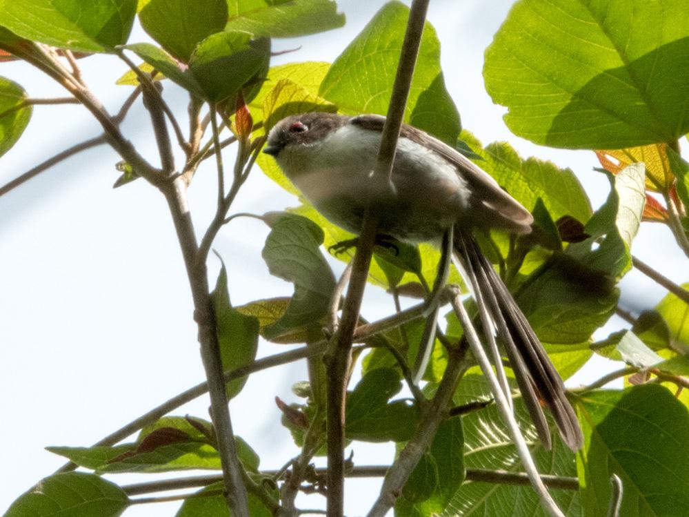 この鳥はなんでしょうか? エナガかと思ったんですが、頭の毛の色が少し薄く見えて、また目の上が赤くなっている様に見えます。(光の関係なのかも) エナガの幼鳥でしょうか? 見たのは本日(5/3)です。