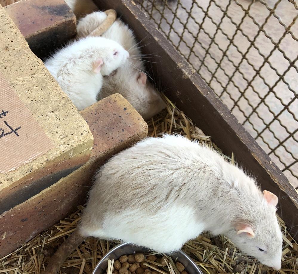ネズミの種類の名前、ご存知の方教えてください! 熊本の阿蘇ミルク牧場で撮ったネズミの写真です。 名前が書いてあったのですが、思い出せず・・・ 調べると出てくるパンダネズミというネズミとは少し違...