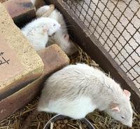 ネズミの種類の名前、ご存知の方教えてください!  熊本の阿蘇ミルク牧場で撮ったネズミの写真です。 名前が書いてあったのですが、思い出せず・・・ 調べると出てくるパンダネズミというネズミとは少し違うように?思うのですが・・・  目が細くて白っぽいネズミが多かったです。 名前をご存知の方いらっしゃいますか?