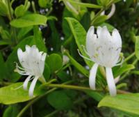 蔓性植物に綺麗な白い花が咲きました。 ソケイではないようですが、何と言う花なのでしょうか。 ご存知の方がいらっしゃいましたらお教え下さい。