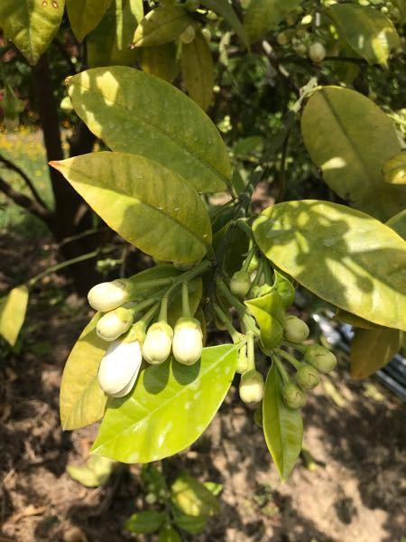 チャンドラポメロ 最近2年くらいビー玉くらいの実を沢山付けますが、ほとんど落下してしまいます。 去年は一個残りました。 何が原因でしょうか。