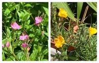 この花の名前わかりますか?  黄色い方は月見草かと思ってましたが昼咲きです 昼咲き月見草がピンクしか見つからなかったのですが黄色もあるのでしょうか ※他の植物に埋もれてて写真見えにくくてスミマセン  ピンクの方はどこかから種が飛んできて庭に広がってます  よろしくお願いします