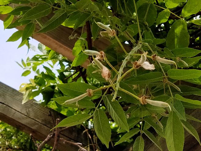 藤棚みたいな感じの植物です。 なんという名前ですか? 去年はそら豆の大きいような実がなってました。