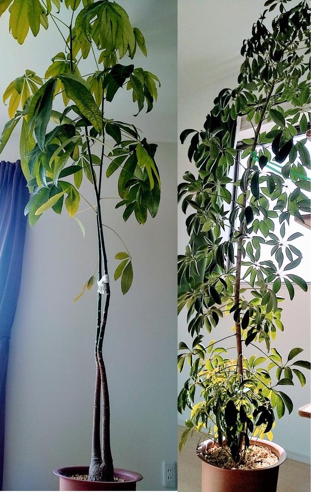 パキラとカポックの剪定の質問です。 天井につきそうな観葉植物があるのあですが どのあたりを何でどのように剪定したらよいでしょうか? パキラ(画像左)は二本の木が細く伸び 下の方の葉は枯れ落ちてしまい暖かくなり上の方がまたぐんぐんと伸びています。 カポック(画像右)1本を一鉢に植え 元気に伸び 下からは数本の新芽が出てきています。 枝を削り水苔を巻き、根が出てきたら切るという方法も 聞いたのですが、根が出て切るまでに天井に付いてしまいそうなので 切った方が良いかな・・・?と考えています。 詳しい方、よろしくお願いします。