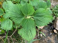 植物に詳しい方にお聞きします。川沿いを散歩していたらこのような植物が生えていました。エゴマかなと思ったのですが、ちょっと違う感じです。候補だけでもいいのでこの植物の名前を教えてください。宜しくお願いし ます。