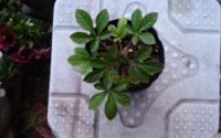 この植物の名前を教えて下さい。ダーグルで検索した回答は違っているように思えたので よろしくお願い致します。