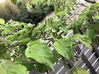 ハナミズキの葉に赤い斑点みたいなものがあります。  対応策をご存知の方がいましたら教えて頂きたいです。
