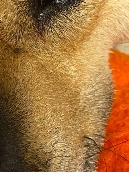この犬に付いている焦げ緑色の小さい点はなんでしょうか?のみかマダニでしょうか?