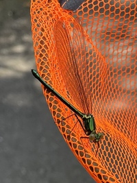 大きめのイトトンボの仲間と思うのですが何という種類ですか? 緑色で輝いてました。